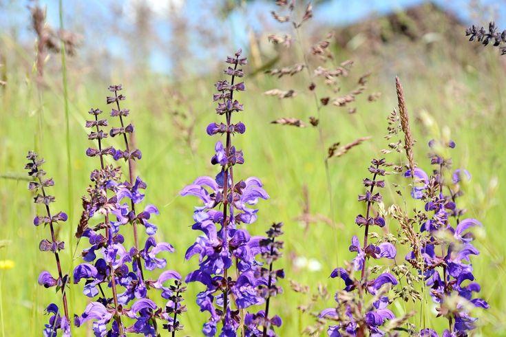 Wild Sage, Sage, Color, Purple, Plant, Spring  FREE