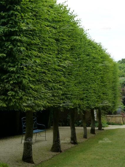 European Hornbeam Fastigiata Garden Outdoor Backyard
