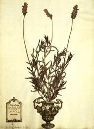 Clifford herbarium sheet of French lavender, Lavandula dentata