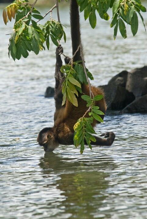 Archipiélago en la Isletas de Granada - Nicaragua - monkey drinking water from the lake