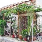menanam-anggur-di-halaman-rumah