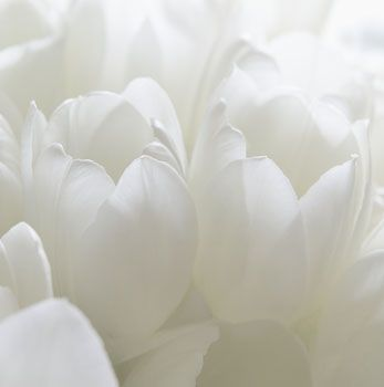'White Tulips' © John Freeman - Pure and Simple