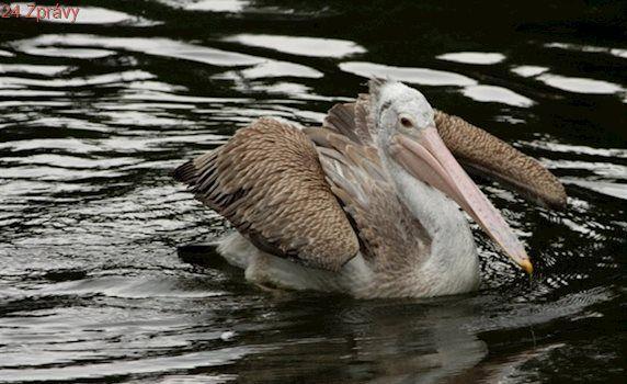 Pelikánům v liberecké zoo se ptačí chřipka vyhnula, vrátí se na jezírko
