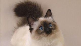 enis kucing persia,jenis kucing anggora,persia termahal,medium,dan harganya,calico,peliharaan,persia pignose,