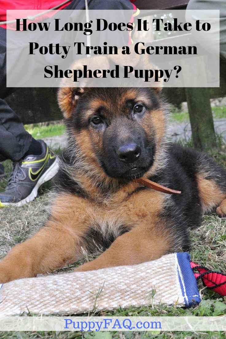 How long does it take to potty train a german shepherd