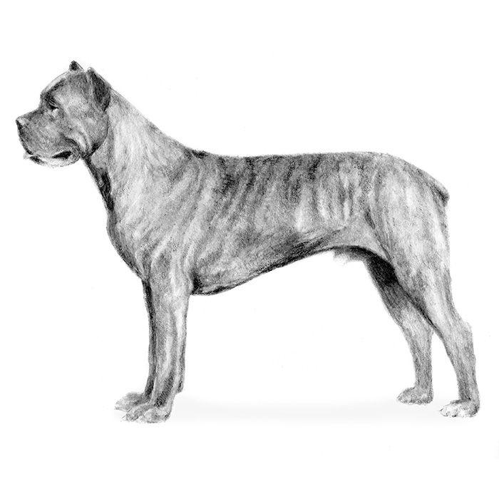 Cane Corso Dog Breed Information - American Kennel Club
