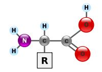 """Amino acids serve as the building blocks of proteins, which are linear chains of amino acids. Amino acids can be linked together in varying sequences to form a vast variety of proteins. Twenty amino acids are naturally incorporated into polypeptides and are called proteinogenic or standard amino acids. These 20 are encoded by the universal genetic code. Nine standard amino acids are called """"essential"""" for humans because they cannot be created from other compounds by the human body, and so…"""