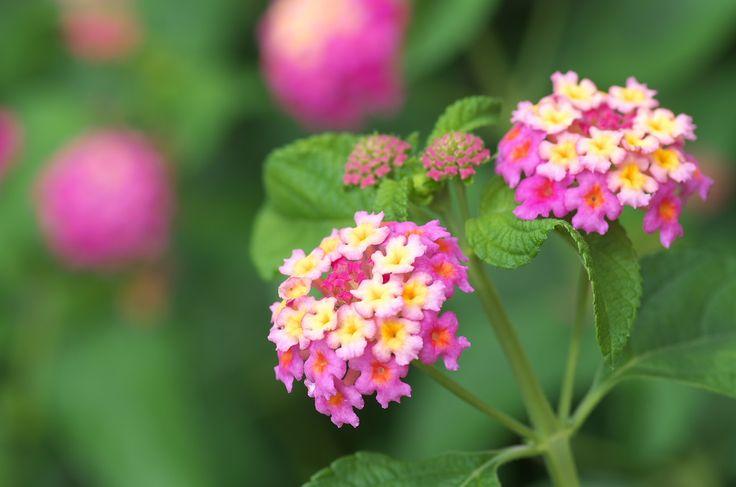 多年草とは数年にわたって枯れず、毎年花を咲かせる草花のこと。反対に1年で枯れてしまう植物を一年草と言います。ガーデニングでは、毎年手入れが必要な一年草と、少ない手入れで花を付ける多年草を組み合わせて育てると美しい状態をキープするのにとても重宝します。