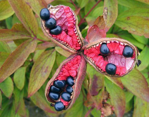 Golden Peony or Caucasian Peony (Paeonia mlokosewitschii): Paeonia Mlokosewitschii, Caucasian Peonies, Secret Gardens, Life, Posts, Peonies Paeonia, Semilla, Seedpod, Golden Peonies
