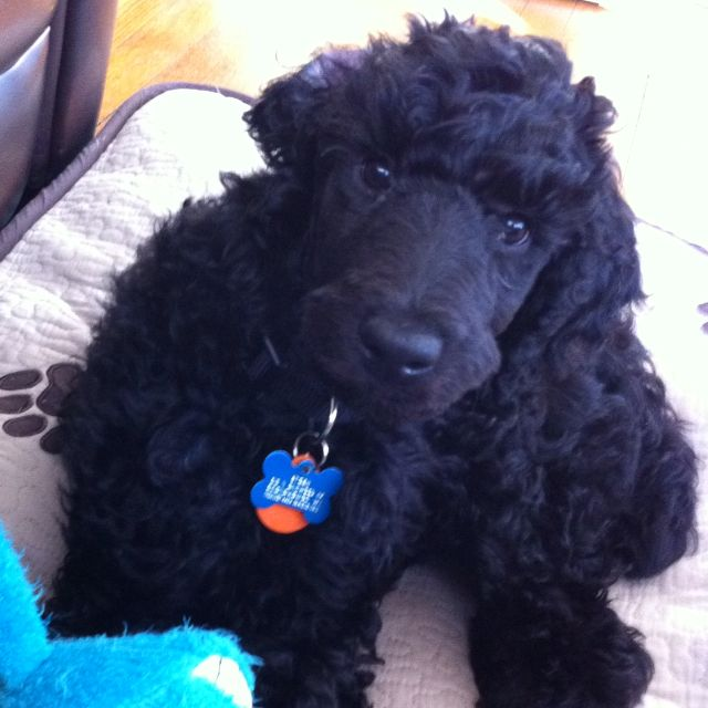 black standard poodle puppy - photo #7