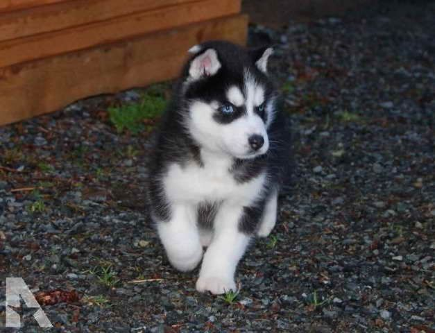 Husky Puppy For Sale Washington Babyhusky Husky Puppy For Sale