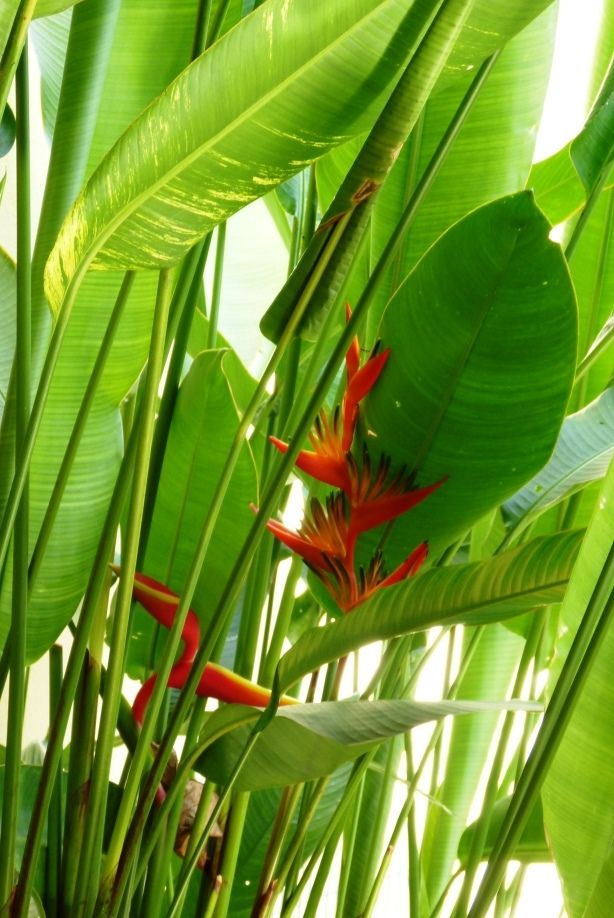 Heliconia from our garden july 2014