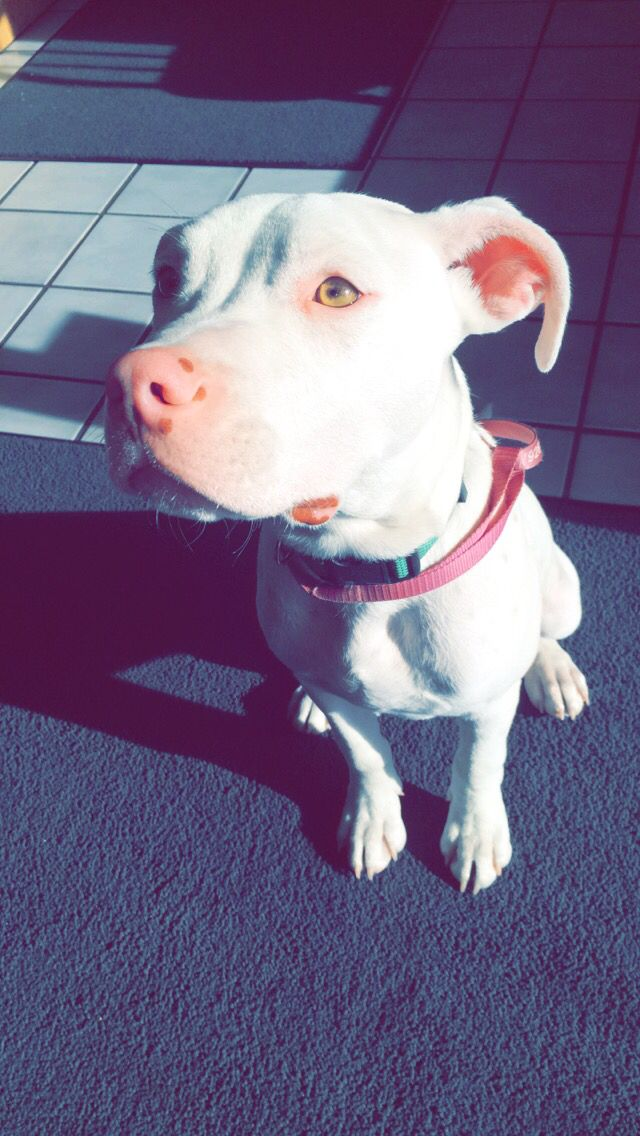 White pitbulls                                                                                                                                                      More