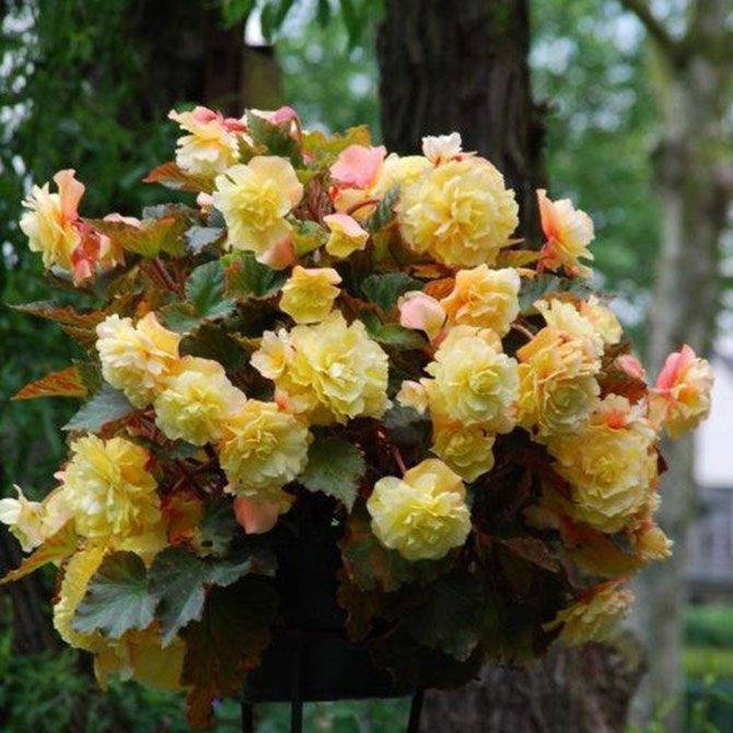 Begonia Sunset Yellow Champagne Planting Bulbs Flower Pots Hanging Flower Baskets