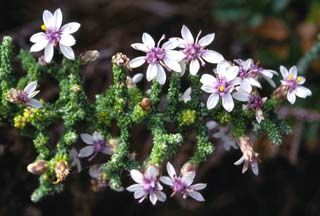 Olearia lepidophylla - Club-moss Daisy Bush.  1m x 0.5m   grows mostly on coastal dunes, likes well drained sites,