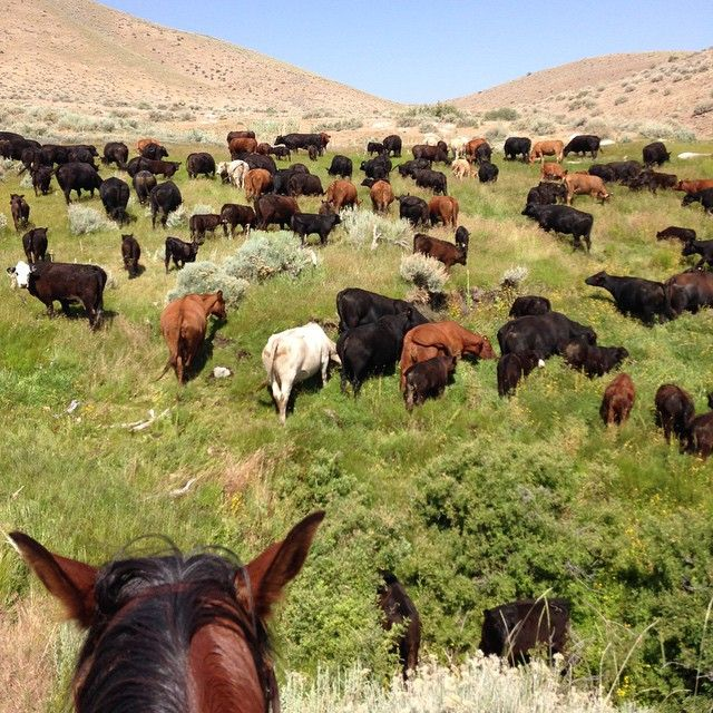 Nevada cattle near fish springs ranching nevag for Fish springs nevada