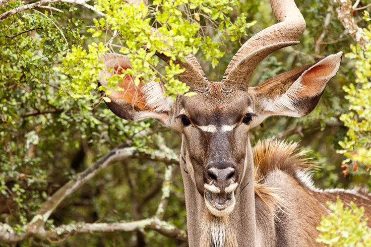 Greater Kudu laughing at you Greater Kudu standing between the branches laughing at you.