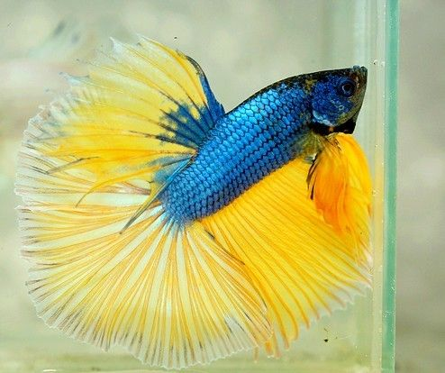 389 best images about alpha bettas on pinterest auction for Betta tropical fish