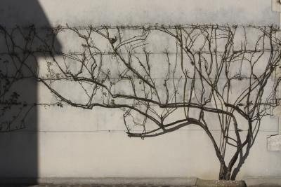 How Do I Espalier Roses? thumbnail: Apples Trees, Cable Trellis, Espalier Trees, Growing Trees, Espalier Rose, Gardens Landscape, Gardenyard Plantingdesign, Growing Apples, Espalier Apples