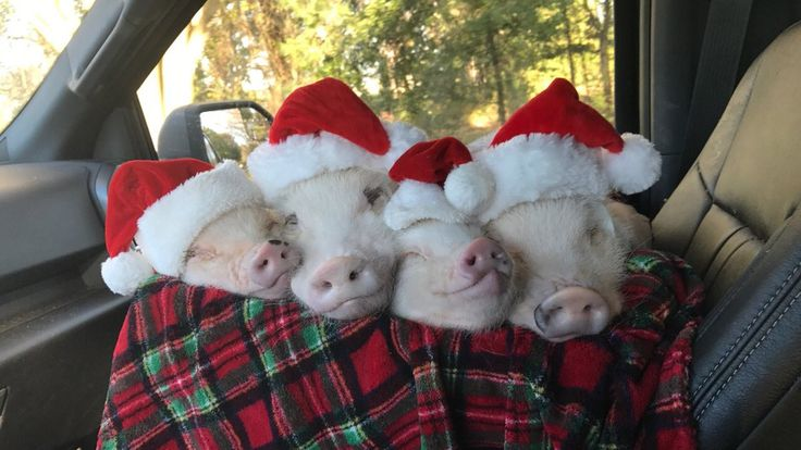 Ho, ho, ho ... hog