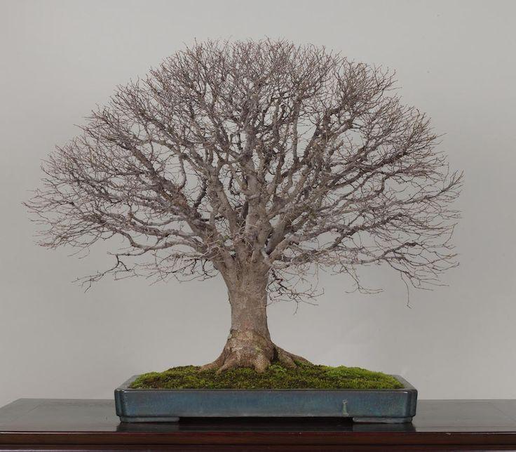 509 best great bonsai trees images on pinterest world for Famous bonsai trees