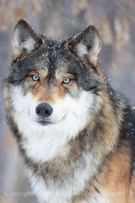 Winter Coat | Wolf Gallery | Photo copyright: Gary Jacobson | frozenshutter.com