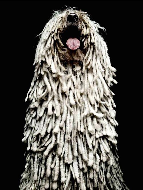 Dog, dreads, white
