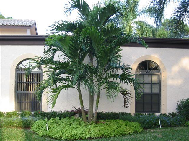 Alexander palm plants of jamaica palms pinterest for King garden designs