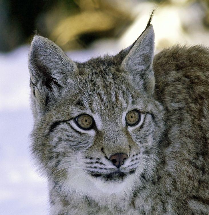 Young Eurasian Lynx