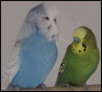 Difference between the English Budgie and the Parakeet,besides the notable size difference, budgies also stand more erect.
