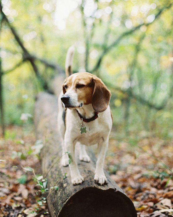 sachikoeubanks:  Buster, the beagle. 10 years old. we met him in the woods. october 302013 canon eos3 kodak ultramax400
