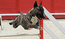 10 Tips for Dog Agility Training. Before you and your dog hit the ring, here are 10 training tips to get you started.