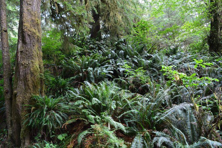 Rain forest.  Pacific Rim Nation Park Vancouver Island, BC