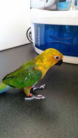 Janday Conure . .gorgeous friendly baby FOR SALE The breeder has handraised Beautiful cuddly Sun Conure babies If you are looking for a snuggly companion..one you could kiss n cuddle forever. Then look no further than here. We have babies that are age: 10wks old ready to go Handraised love their pats and cuddles READ MORE HERE http://petsplease.com.au/category/311/Birds/listings/2229/Janday-Conure-gorgeous-friendly-baby.html