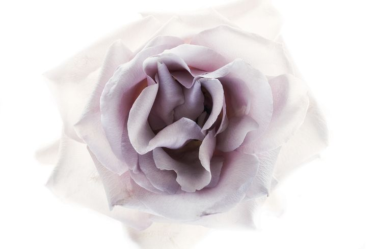 Translucent rose. Floragraphica | Modern bouquet preservation with photography