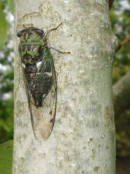 Cicadas by the Numbers-Chicago Botanic Garden