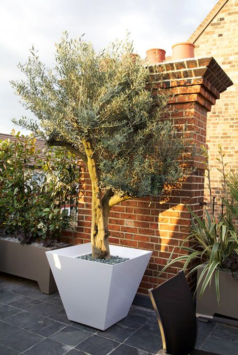 17 best images about olive trees on pinterest trees a for Growing olive trees indoors