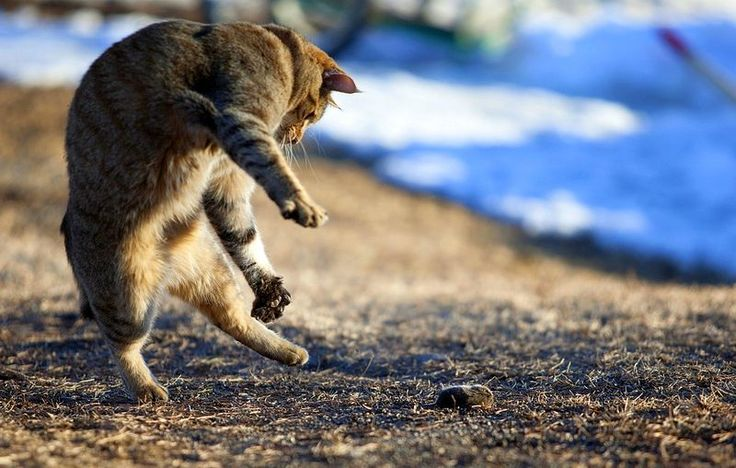 Пикси-боб (фото): короткохвостый кошачий эльф