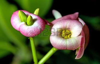 spurge plant: Christs thorn flower Stock Photo