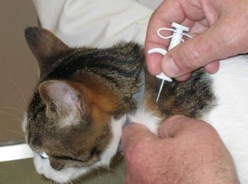 Een kat laten chippen met microchip. De chip met unieke code word met injectie onder de huid van de kat gebracht. Het elektronisch coderen is onschadelijk.