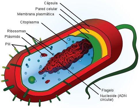 Celula Procariota Senalando Sus Partes Celula Eucariota Celulas Bacterianas Celulas Procariotas
