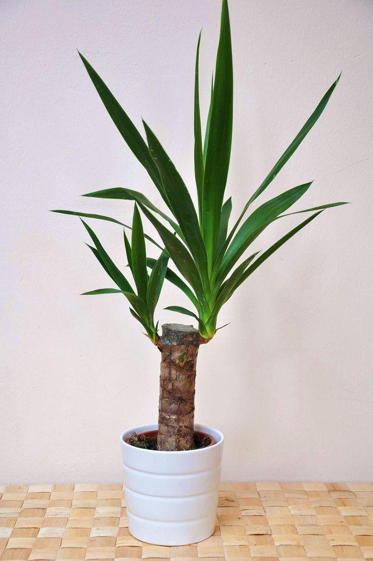 Yuccapalme (Riesen-Palmlilie) | Yuccas | Pflanzen | Der Palmenmann