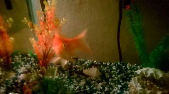Set up a healthy goldfish aquarium aquarium healthy and for What fish can live with goldfish in a pond