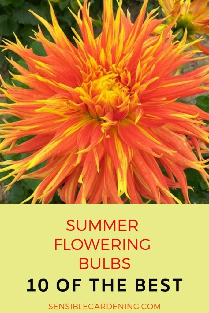 Summer Flowering Bulbs With Sensible Gardening 10 Of The Best Summer Bulbs For Your Garden Summer Flowering Bulbs Summer Bulbs Planting Bulbs