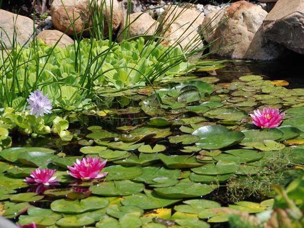 How To Remove Pond Algae2 Water Garden The Sounds Serenity Pinterest To Remove How To