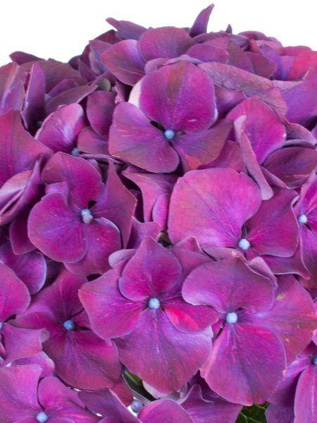 Hortensie 'Magical Rubyred' in aubergine lila violett als Schnittblume - Saison im Mai, Juni, Juli, Augsut und September. #schnittblumen #blumen #hochzeit #hochzeitsblumen #hochzeitsdeko #weddingflowers #hydrangea