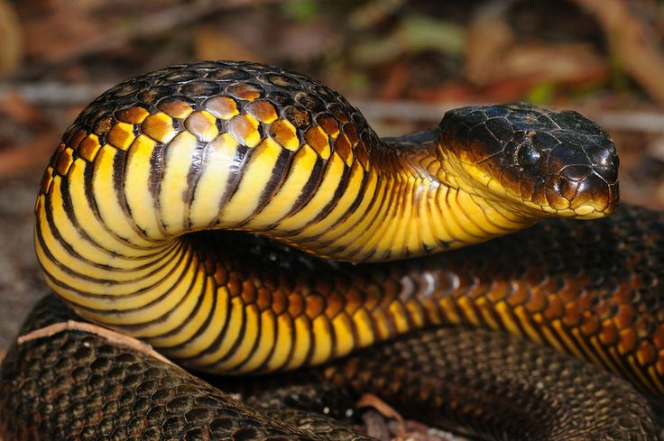 Tiger Snakes are found in the southern regions of Australia and some of its costal islands. It gets in name from its color, as it is often banded like a tiger. A tiger snake's venom contains many potent toxins. Once bitten a person will experience, at first, localized pain followed by breathing difficulties and finally paralysis. Studies show that untreated bites have a mortality rate of 40-60%.