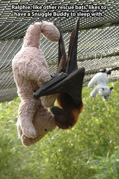 "Ralphie, like other rescue bats, likes to have a ""snuggle buddy"" to sleep with."