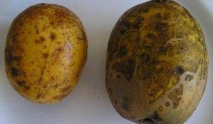 caracteristicas-e-beneficios-da-fruta-caja-manga