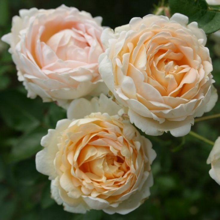 410 besten pflanzen bilder auf pinterest lila rosen rote rosen und sch ne blumen. Black Bedroom Furniture Sets. Home Design Ideas